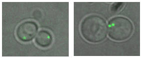 chromosome segregation and mis-segregation of yeast cells carrying a fluorescent label in chromosome VII