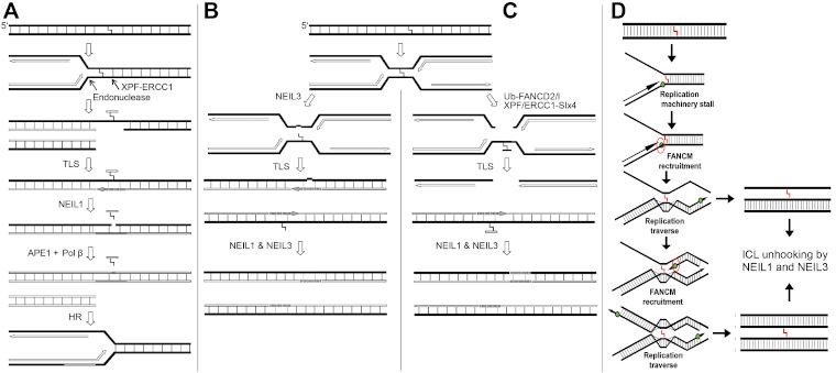 Réparation des pontages inter-brins de l'ADN couplée à la réplication de l'ADN.
