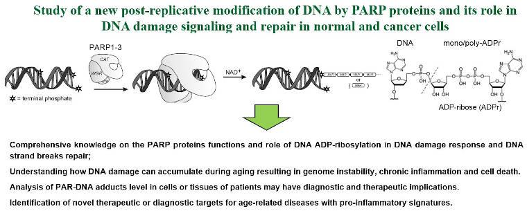 Étude d'une nouvelle modification post-réplicative de l'ADN par les protéines PARP.