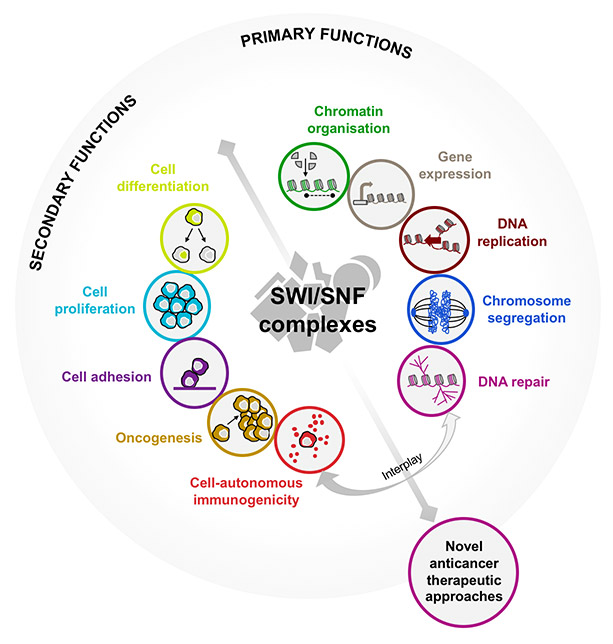 Overview of the roles of SWI/SNF in cancer