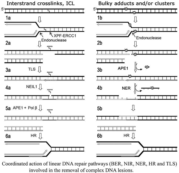 Réparation de l'ADN