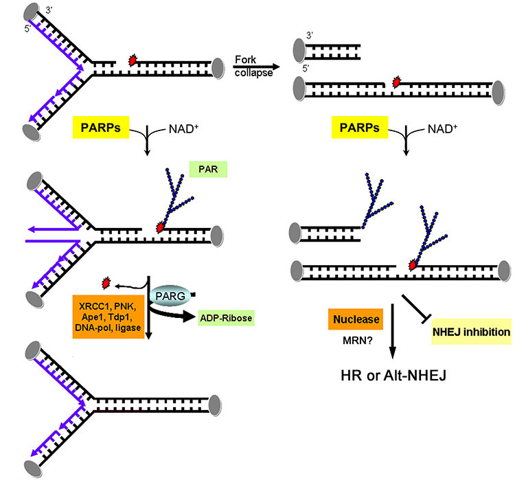 the importance of the dna polymerase epsilon in research Results dna polymerase epsilon still associates with the replisome in the absence of mrc1 the budding yeast mrc1 protein is the ortholog of claspin in.