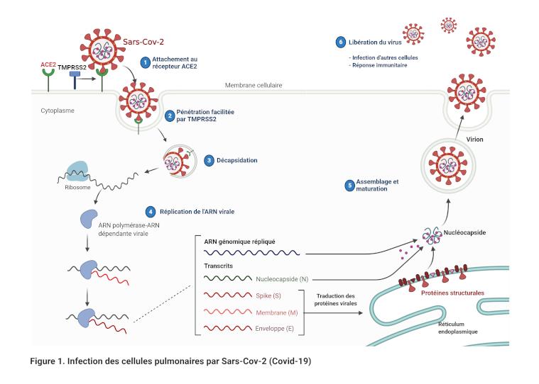 Cycle de réplication Sars-Cov-2