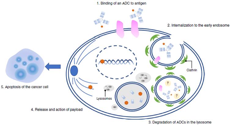 anticorps conjugués à des cytotoxiques (ADCs)