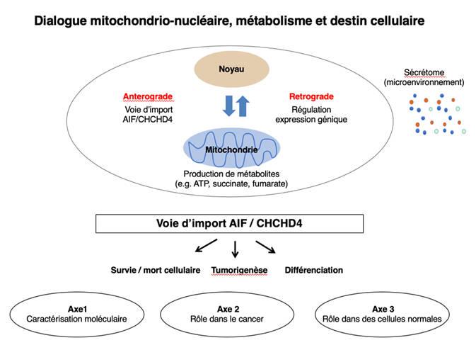 Dialogue mitochondrio nucléaire