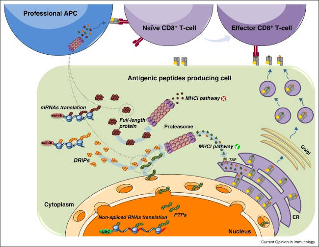 Antigenic peptides producing cell